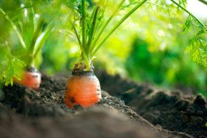 Carrots by (c) Can Stock Photo / Subbotina